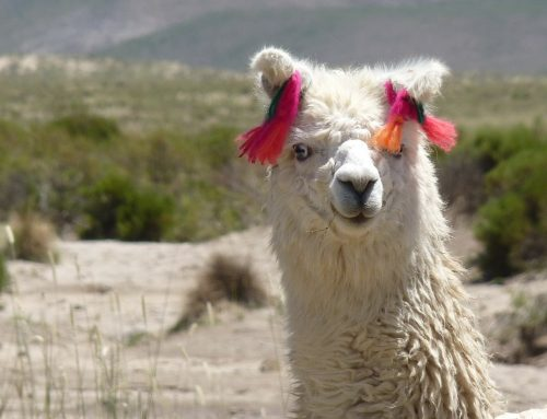 Let Me Be Your Llama