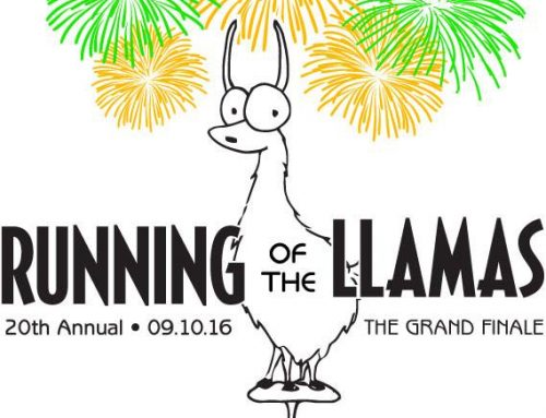 Running of the Llamas